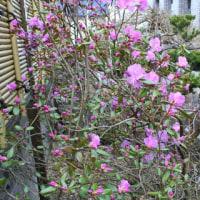 エゾムラサキツツジが咲きました