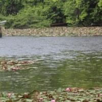 滋賀県甲賀市水口町にある大池寺を囲む池では、スイレンが咲いています
