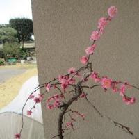 枝垂れ梅が咲きました。