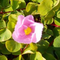オキザリスが咲いて!(17-0118)
