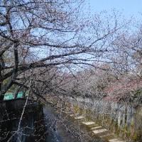 2017石神井川の桜5