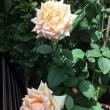 夏の薔薇は、