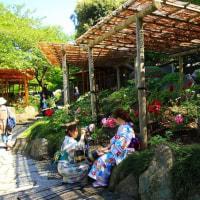 鎌倉鶴岡八幡宮・春牡丹