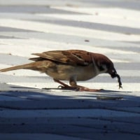 公園の野鳥、スズメ