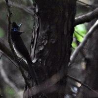 5/20三光鳥オスの月日星ホイホイホイの「ホイホイホイ」の瞬間。
