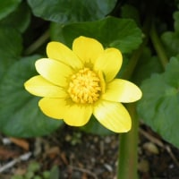 リユウキンカ(立金花)と越後の雪の花