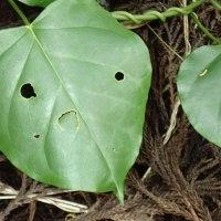 キジョランの葉:何かの顔に似ています。