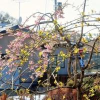 桜日和か⁇、