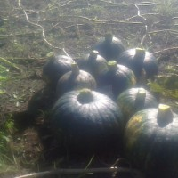 カボチャの収穫。