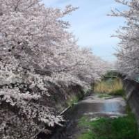 桜見納めか…そして400年前に心が…