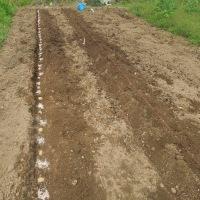 ジャガイモの植えつけ