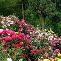 種松山の薔薇の花 終 in 岡山・倉敷市