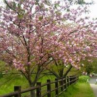 大好きな八重桜(≧∇≦)