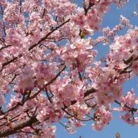 早咲きの桜が…多摩川冬景色シリーズ