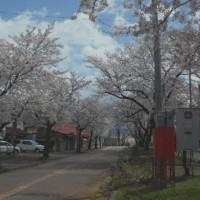 咲き満ちる櫻