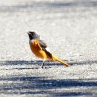 10/28探鳥記録写真(狩尾岬の鳥たち:イソヒヨドリ、ジョウビタキ、ミサゴ)