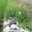 田圃の草刈り