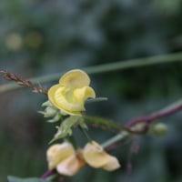 ヤブツルアズキの花は複雑だ