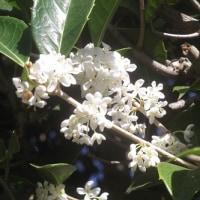 庭の柊(ヒイラギ)の花