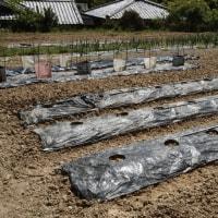 夏野菜の定植 その1 連休