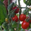 ミニトマトが穫れています