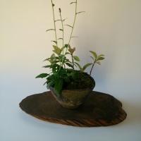 ミヤコワスレの盆栽