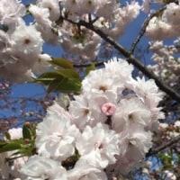 造幣局の桜♡