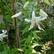 真夏の花 ヒオウギとカサブランカ