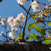 秋に咲く神代植物園の十月桜
