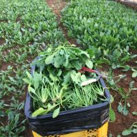 ほうれん草の収穫と調製