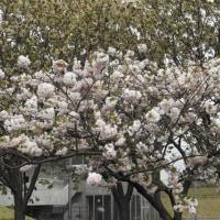 柏の葉公園周辺の野鳥_ツグミ(鶫) プラス柏の葉公園のサクラ・・・ショウゲツ(松月)