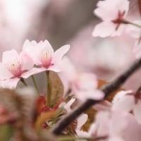 2017*桜だより。。。(圧倒的桜。2017)
