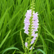 ミソハギ(盆花): ハナトラノオ