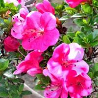 庭のミニバラが満開!