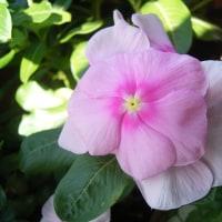 花のリレー ニチニチソウ