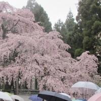 しだれ桜傘
