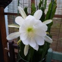 サボテンの花。