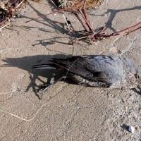 イソヒヨドリ 小さな漁港の悲劇