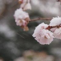 実光院の不断桜