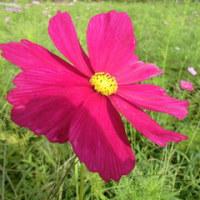 我が家の四季の花 9月 コスモス