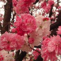 満開、紅白桜、、