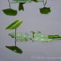 小雨の蓮田