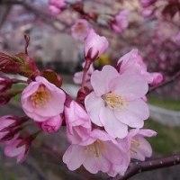 桜が咲きました^^