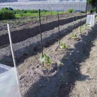 「看取り介護」合間の夏野菜作り