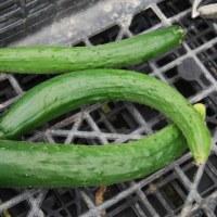 今日の収穫 キャベツ トマト キュウリ インゲン オクラ ナス シシトウ 青ジソ バジル