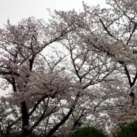 通りすがりの桜