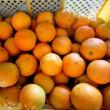 バレンシャ・オレンジ コンテナで貰った 我が家庭園芸 恥じるばかり