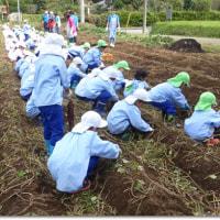 園児がサツマイモ掘り