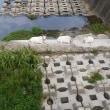 大川のヤギ達。田んぼの見回り。岬町の自然海岸。