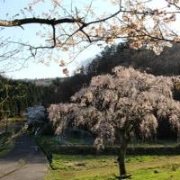 土橋のしだれ桜・北広島町